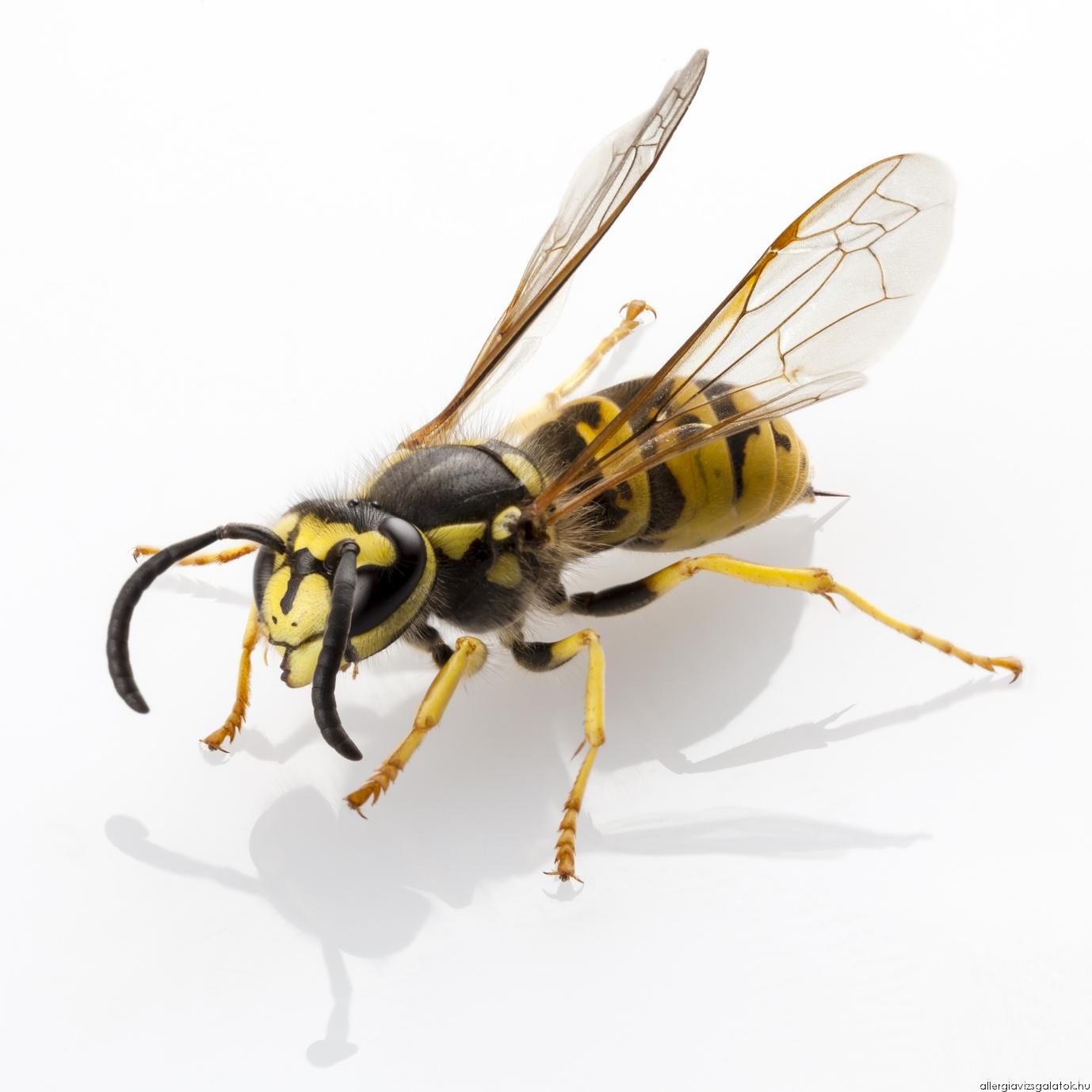 A rovarméreg-allergia az egyetlen allergia, ami gyógyítható!